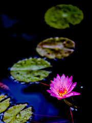 "Water lily • <a style=""font-size:0.8em;"" href=""http://www.flickr.com/photos/44919156@N00/13537015683/"" target=""_blank"">View on Flickr</a>"