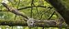 DPP_0004 (Jonathan O'B1) Tags: greatgreyowl stixnebulosa