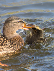 Gerroff Mrs ! (Dan Belton ( No Badger Cull )) Tags: bird nature water animal spring leicestershire duckling april mallard anasplatyrhynchos 2014 behaviour danbelton swithlandreservoir