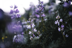Lupine (kendall.plant) Tags: morning flowers trees light sun sunlight mist tree green floral beautiful weather fog forest sunrise dark point outdoors moody hiking sony foggy hike wanderlust explore faded 55mm backpacking fade redwoods a7 lupine wander reyes