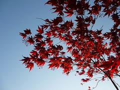 Acer palmatum ´Fireglow´ (Jörg Paul Kaspari) Tags: blue sunset red sky rot leaves garden leaf spring sonnenuntergang himmel acer blau blatt blätter garten blauer frühling palmatum abendsonne dachterrasse 2016 wincheringen moderngarden fächerahorn rotlaubiger acerpalmatum´fireglow´ ´fireglow´