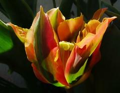 Farbenvielfalt (Harald52) Tags: natur pflanze blte tulpe