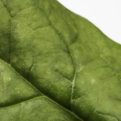 Spinacia oleracea -[ HMM ]- (Carbon Arc) Tags: plant green leaf vegetable produce leafy spinach nutrition nutritious justleaves macromondays