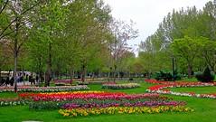 tulips - mellat park - mashhad (daniyal62) Tags: flower nature fuji iran fujifilm mashhad mellatpark xa1 xf27mm
