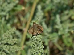 Cymaenes trebius (carlos mancilla) Tags: insectos butterflies mariposas cymaenestrebius olympussp570uz