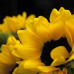 (noidcanuse2011) Tags: plant flower sunflower m43 gf2 lumixg20f17