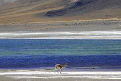 2016.04.25.11.15.10-Laguna Miscanti vicunas (www.davidmolloyphotography.com) Tags: chile sanpedrodeatacama vicuña lagunamiscanti