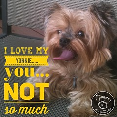 Thanks for being there sweetheart! (itsayorkielife) Tags: instagram itsayorkielife yorkie yorkshireterrier