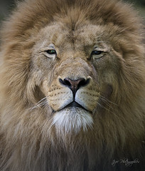The King (jip photographies) Tags: king lion lioness flin