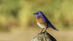 Western Bluebird (m) (Bob Gunderson) Tags: california birds northerncalifornia southbay bluebirds santaclaracounty ranchosanantonio westernbluebird sialiamexicana thrushes