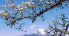 Une douce journe de printemps (Didier HEROUX) Tags: france mountains alps tree fleur montagne alpes plante french landscape flickr raw rando alpen paysage alpi extrieur 74 arbre printemps corce balade branche saison hautesavoie combloux sallanches warens alpesdunord auvergnerhonealpes