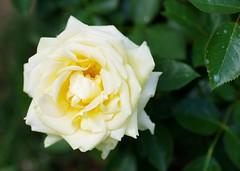Winter Sun (Niki Gunn) Tags: flowers roses flower macro rose pentax may buck tamron 90mm k5 tamron90mm wintersun 2016 tamron90mmf28 tamron90mmmacro tamronspaf90mmf28 griffithbuck griffithbuckrose