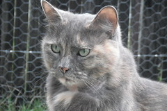 Matilda (2 of 2) (Matilda&Charlie&Josie ~ MCJ) Tags: cat matilda 10yo greybluecreamtortoiseshell