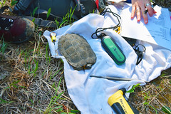 Wood Turtle Research (U.S. Fish and Wildlife Service - Midwest Region) Tags: wood turtle research upper midwest riverine habitat improvement project riverne michigan state wildlife competitive grant spring study monitoring population dnr department natural resources phase reptile
