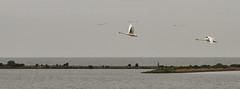 Zwanen (Herman Verheij) Tags: swan zwaan