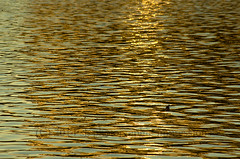 Nature's gold (photographic impressions 2016) Tags: light sun lake nature beautiful gold golden stillness captivate goldenlake beautyofnature goldenmoments