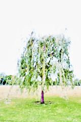 Trauerweide (rainerneumann831) Tags: birke aquarell ladenburg unschrfe