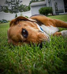 """""""He that lieth down with Dogs, shall rise up with Fleas."""" (mp13 nhnc) Tags: dog pet beagle"""