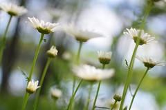 DSC_0041 (Amelia Cacchione) Tags: adirondacks mountains lake flowers daisys adirondack upstate ny new york indian