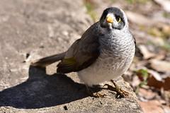 Noisy Miner (Luke6876) Tags: bird animal wildlife honeyeater miner australianwildlife noisyminer