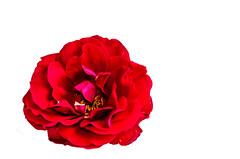 Rosenblte (markus.hermenau) Tags: rot rose blte blhen freigestellt