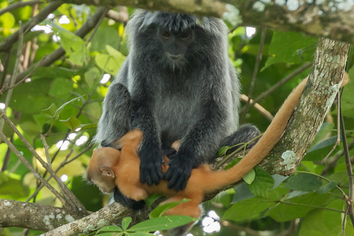 Silvered leaf monkey (Trachypithecus cristatus) with baby