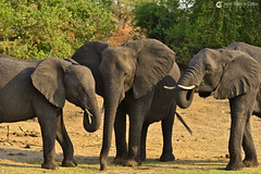 15-09-20 Ruta Okavango Botswana (956) R01 (Nikobo3) Tags: travel parque naturaleza animals fauna nikon ngc delta unesco viajes animales botswana okavango d800 twop frica vidasalvaje omot deltadelokavango nikond800 rochobe nikon7020028vrii tc20eiii flickrtravelaward parquenacionalchobe nikobo josgarcacobo