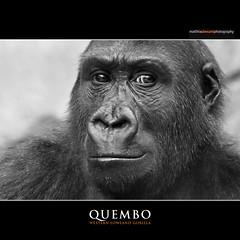 QUEMBO (Matthias Besant) Tags: animal animals mammal deutschland zoo monkey tiere jung child hessen gorilla kind ape monkeys mammals apes fell tier junge affen primates affe primat hominidae primaten zoofrankfurt querformat saeugetier saeugetiere menschenaffen hominoidea trockennasenaffe menschenartige quembo affenfell menschenartig affenblick matthiasbesant