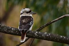 Laughing Kookaburra (Luke6876) Tags: bird animal wildlife kingfisher kookaburra australianwildlife laughingkookaburra