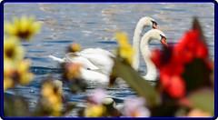 The swans from Zurich lake (2) (Ioan BACIVAROV Photography+4millions visits-Thanks) Tags: lake flower bird water beautiful birds wonderful interesting swan swans photostream wonderfulphoto ioanbacivarov bacivarov