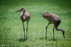 165 ~ 366 (BGDL) Tags: birds florida sandhillcranes lakewoodranch afsnikkor55200mm1456g nikond7000 bgdl lightroomcc goingfor4inarow~366