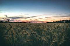 Grain (k.tusnio) Tags: sunset nature field landscape evening nikon wheat grain poland hdr 14mm samyang d5100