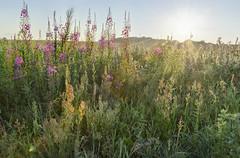 Summer sun (mayaafzaal) Tags: morning flowers summer sunrise colorful blossom meadow rays