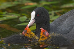 Coot family portrait (keith27a (catching up)) Tags: birds fauna coot naturesubjects
