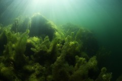 IMG_4268 (Andrey Narchuk) Tags: russia moscow freshwater green underwater weed tree