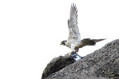 Peregrine Falcon (falco peregrinus) (Adrian Dancy) Tags: bird peregrinefalcon peregrine falcon falcoperegrinus predator prey persecuted fastestbird protectedspecies adriandancy