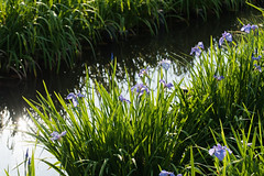 13Yamada Pond Park (anglo10) Tags: flower japan