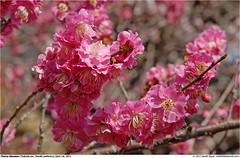 Blossom_Tsukuba-san_GB_010412_01 (lastarial (Gareth)) Tags: sakura ibarakiken ibarakiprefecturetsukubasanmounttsukubacherryblossomjapan
