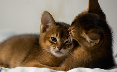 Two Abyssinian Kittens 3 Usual Abyssinian Kittens