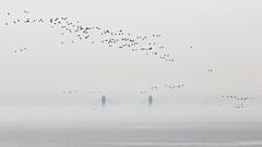 Daytime Fog (Thomas Ohlsson Photography) Tags: birds fog dimma resundsbron oresundbridge resundbridge takumar135mmf25 panasoniclumixdmcgf2