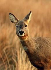 Roe Doe Portrait (sjdugdale1) Tags: nature mammal scotland wildlife deer islay roedeer