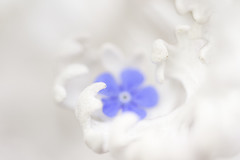 f2.8 (Tupilak79) Tags: blue white flower macro canon geotagged spring soft flickr dof bokeh outoffocus 7d forgetmenot vergissmeinnicht 10028