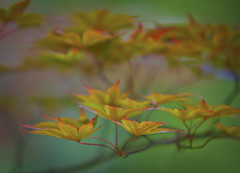 Japanese Maple (Mark Chandler Photography) Tags: trees red color tree green nature leaves gardens canon ga georgia photography japanese photo leaf maple dof bokeh japanesemaple 7d kennesaw markchandler smithgilbertgardens