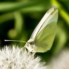 """Day 124 in 2012 - """"Gonepteryx rhamni"""" (JudithTB) Tags: dandelion brimstone löwenzahn zitronenfalter gonepteryxrhamni"""