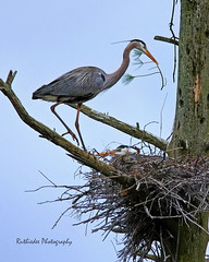 Feathering the nest... (ruthiedee) Tags: male female branch carver herons nesting