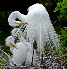 Great Egret mating plumage and chicks preaning (NYsnowbird) Tags: infocus highquality