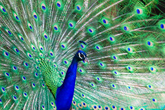 Preening Peacock by Michael Bentley, on Flickr