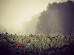 FogsOfJune (BphotoR) Tags: morning field silhouette june fog juni forest germany deutschland nebel hessen feld powershot poppy wald hesse mohn odenwald fogs sdhessen supershot g10 abigfave anawesomeshot weschnitztal bphotor sunrays5 mnschbach
