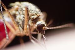 Hyttynen 3 (Sami Kaukolinna) Tags: macro blood mosquito makro reversedlens extensiontube compoundeye ötökkä suckingblood hyttynen 28mmf25 makrokuvaus verenimijä verkkosilmä imeeverta