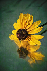 reflections of gold (wildandwoolyart) Tags: reflection gold rudbeckia simplyflowers gloriosadaisy